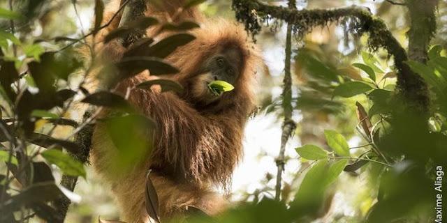 Kematian Orangutan Dengan 130 Peluru Bersarang Di Kepala Jadi Sorotan Dunia