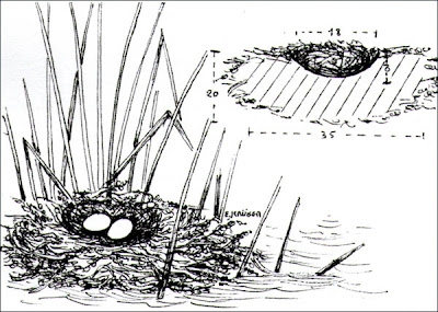 nido de Pato zambullidor grande Oxyura jamaicensis