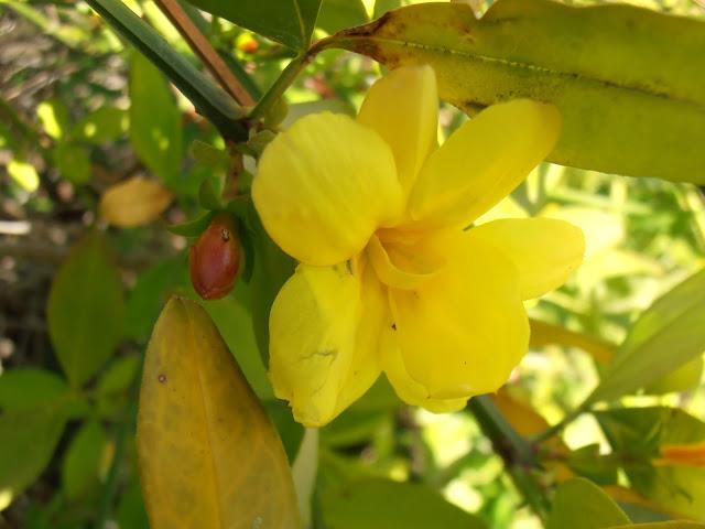 Flor de JAZMÍN DE INVIERNO: Jasminum mesnyi