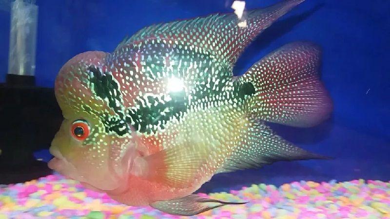 Gambar Ikan Louhan Bonsai SRD Thailand
