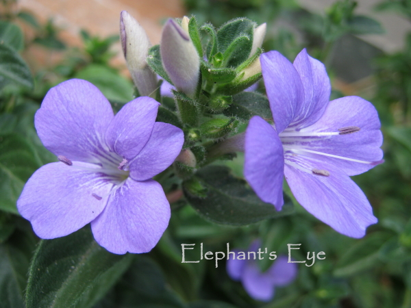 Barleria April violets