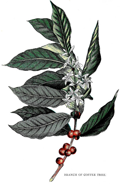 Branch of coffee tree 1905, color illustration