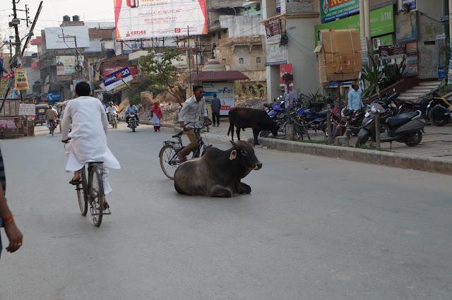 Sapi, Hewan suci bagi umat Hindu di India