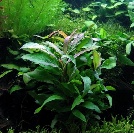 cây rau răm thủy sinh rất dễ trồng