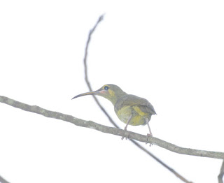 Yellow-eared Spiderhunter (Arachnothera chrysogenys)