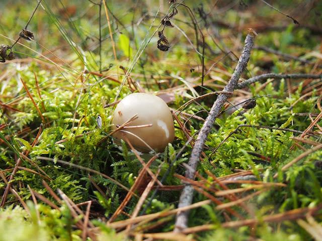 An edible mushroom hidden in moss