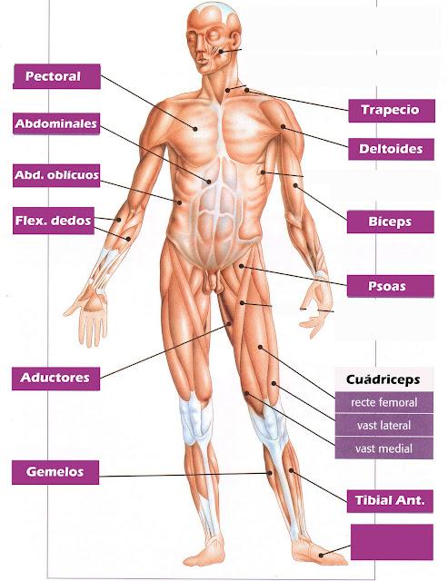 Resultado de imagen de musculos mas importantes del cuerpo humano