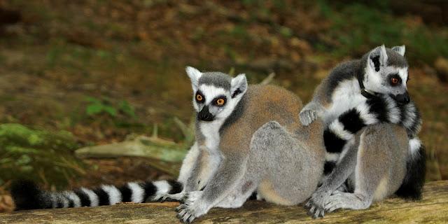 Gambar Lemur Ekor Cingcin