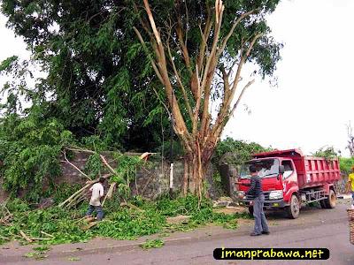 Pohon Tumbang Di Tanjung Pinang