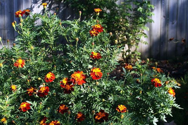 marigolds, garden, autumn, Anne Butera, My Giant Strawberry