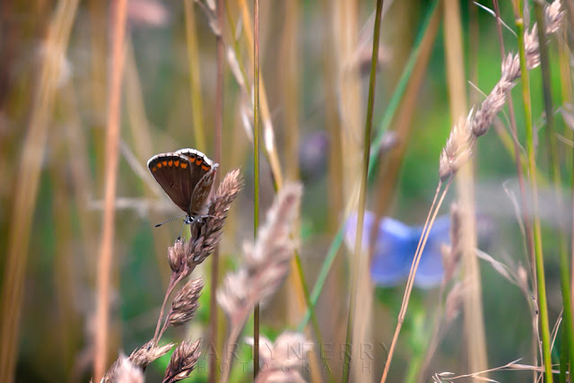 close up image of female common blue butterfly with a male in the background