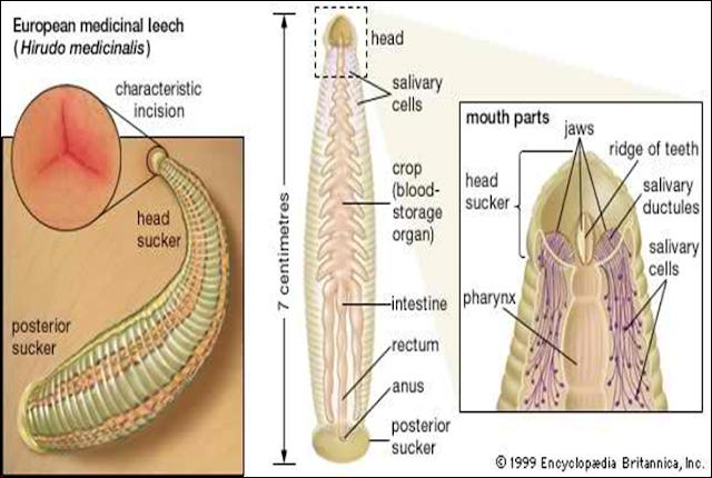 anatomi hirudinea