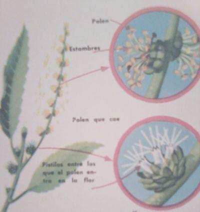 Flores del castaño con estambres y pistilos. Las estaminíferas están cubiertas de polen amarillo.