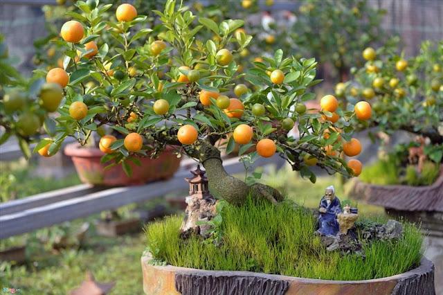 Kỹ thuật trồng và chăm sóc cây quất sau tết để chơi lại vào tết sau