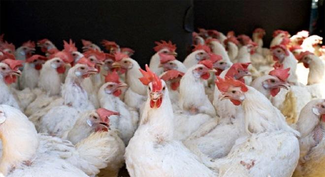 Cấm 22 loại hóa chất, kháng sinh trong thức ăn chăn nuôi
