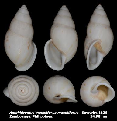 Amphidromus maculiferus maculiferus 54.98mm