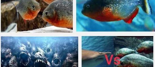 Ini Dia Tips Cara Merawat Ikan Piranha Di Akuarium yang Sangat Mudah