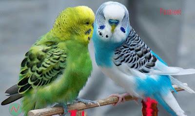 parakeet, parakeet bird, টিয়া