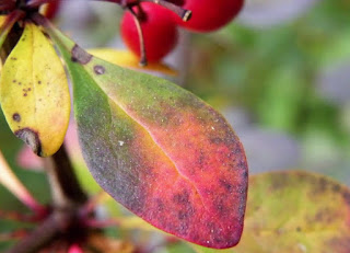 Japanese barberry leaves