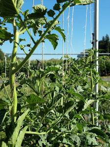 String-Trellised Tomato Plants