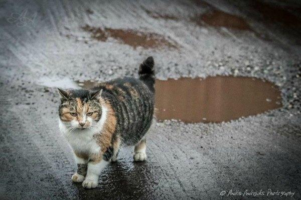 cats of latvia