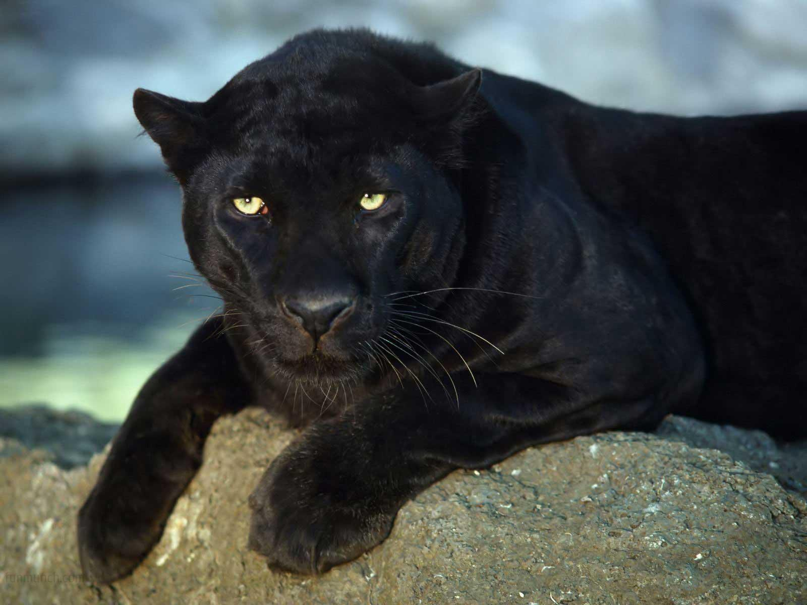animals wild wallpapers them panther