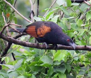 Kisaran Harga Terbaru Burung Bubut Saat Ini 2017