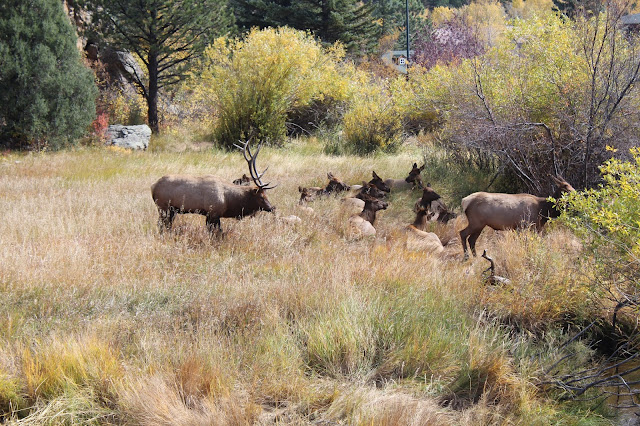 Elk rut season in Estes Park, CO