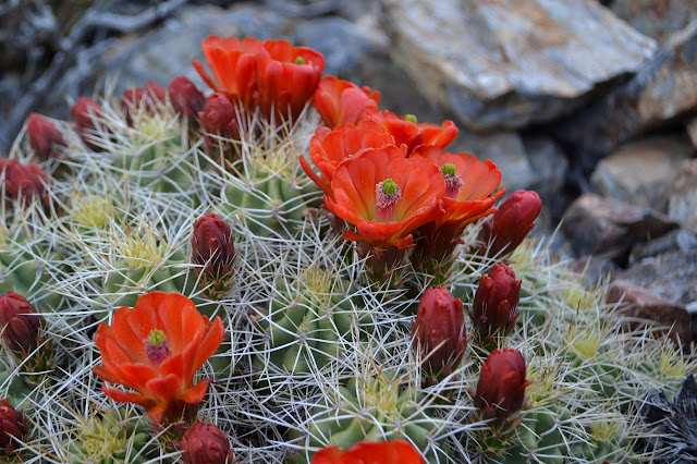 bright red cactus flowers blooming