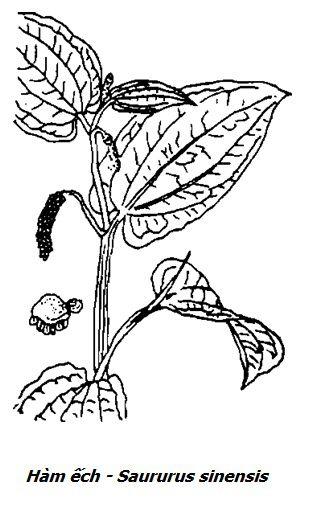 Hình vẽ cây Hàm ếch - Saururus sinensis - Nguyên liệu làm thuốc Chữa Tê Thấp và Đau Nhức