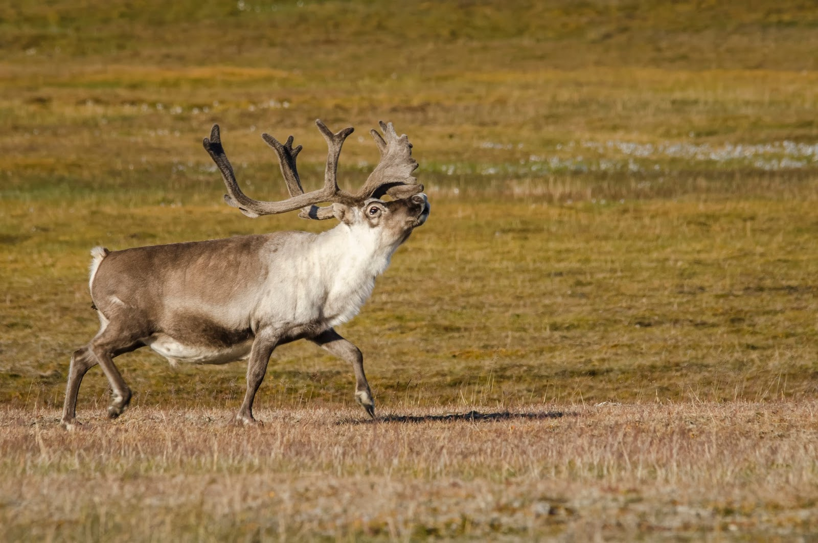 svalbard spitzberg randonnée renne