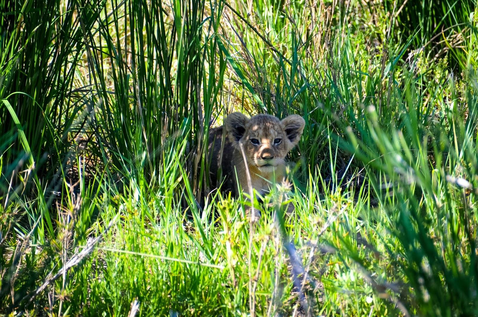 lion cub in kruger