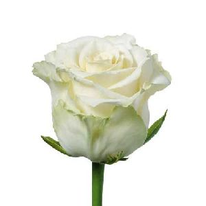 Beautiful Flowers in the World: What Does A Single White ...
