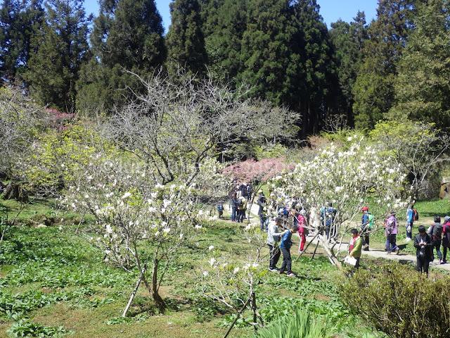 Alishan cherry blossom