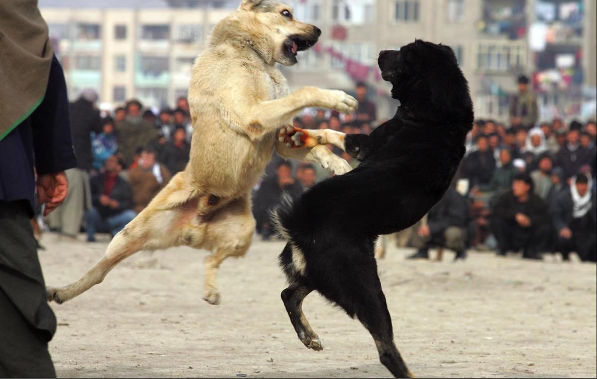 dog fighting essay sample essay on dog fighting blog ultius dog dog fighting essayargumentative essay on dog fighting sample and argumentative