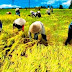 Petani Padi Kini Tak Lagi Khawatir Gagal Panen