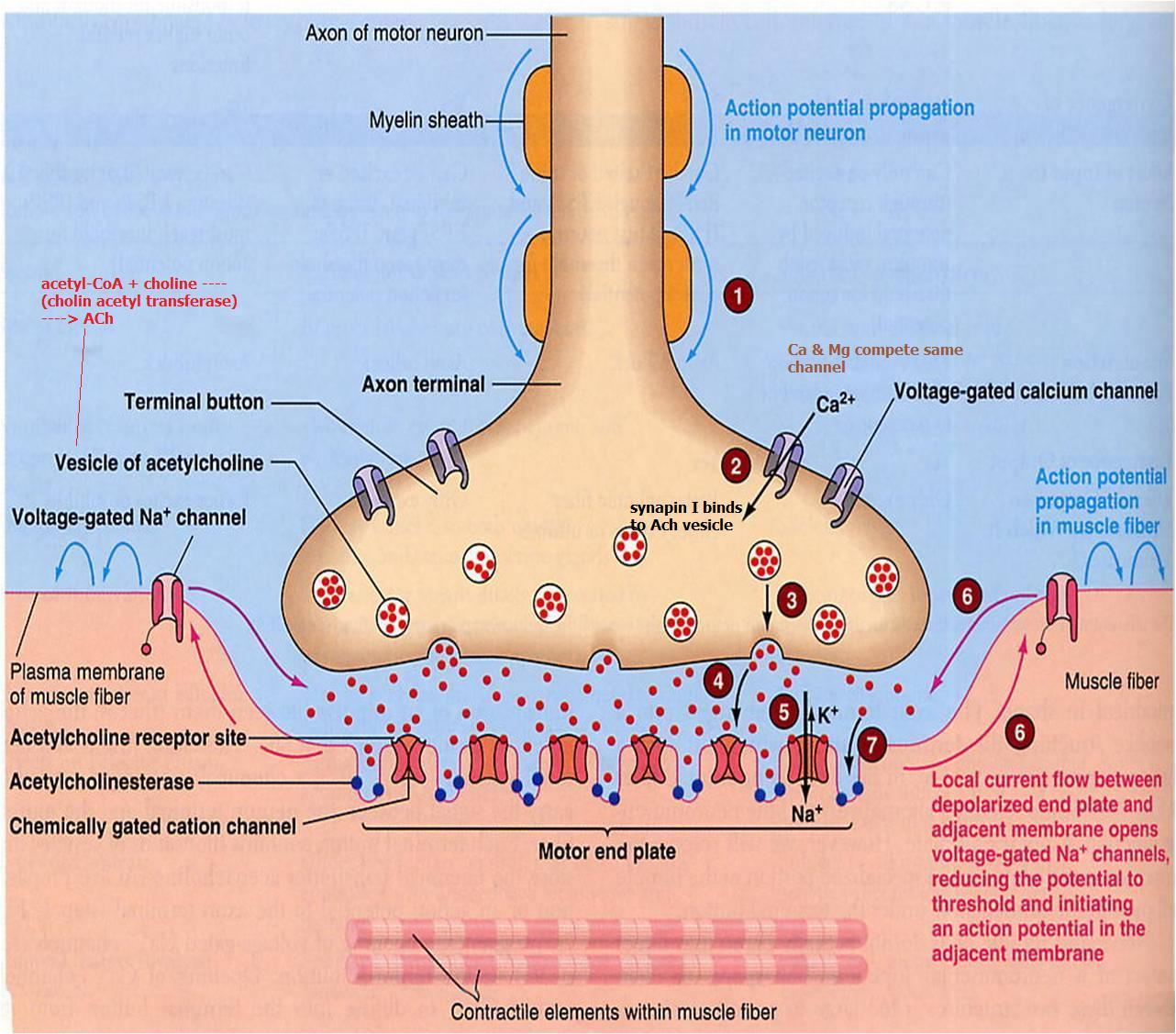 Dr Knight S Insights Congenital Myasthenia And Myopathy