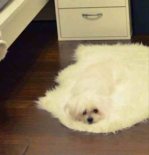 Dog blends into carpet