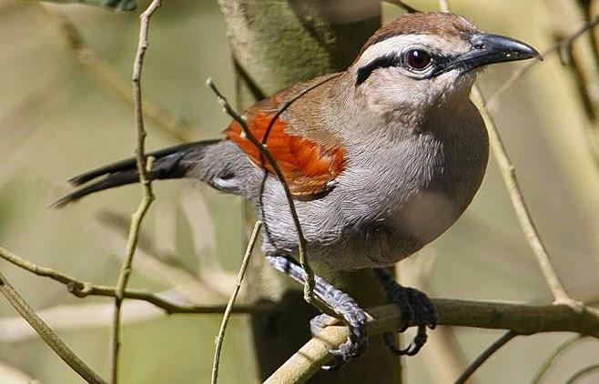 africans malaconotidae birds
