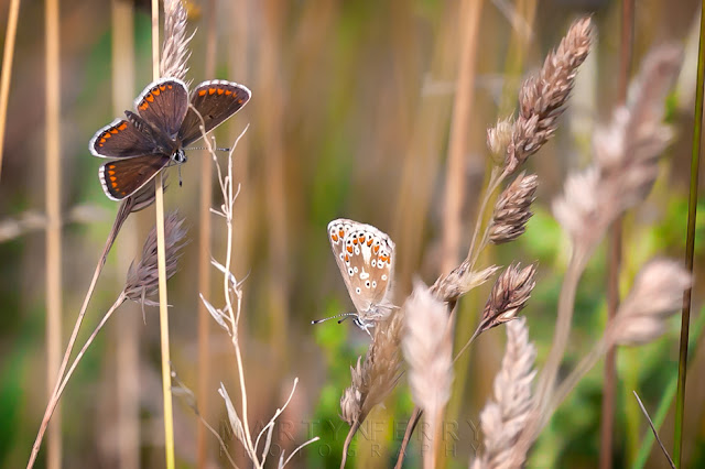 Close up image of a pair of female common blue butterfly one with wings closed and the other open