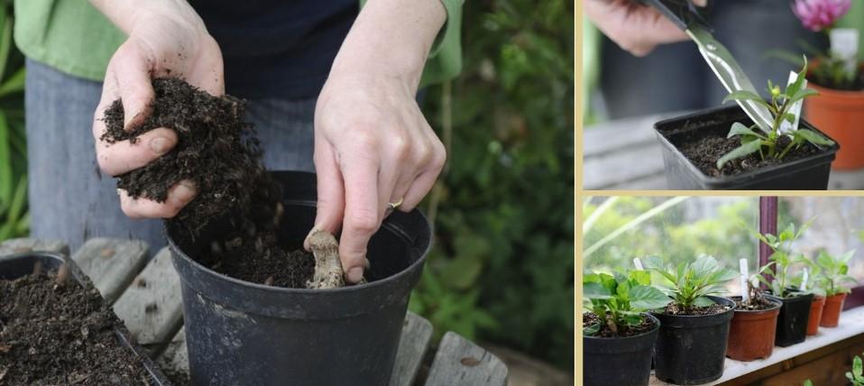 Paso a paso de cómo plantar bulbos o tuberculos de dalia (Dahlia)