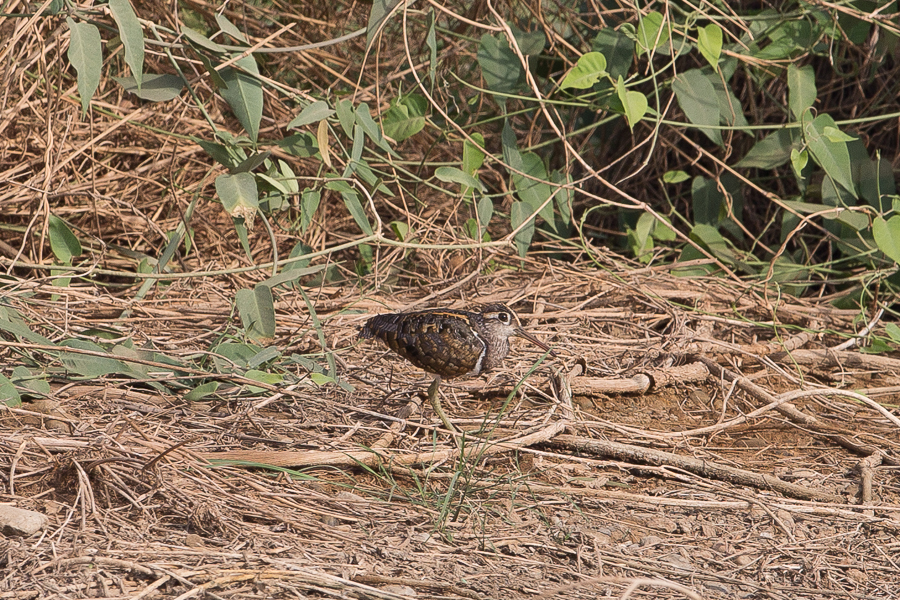 Greater Painted Snipe - male
