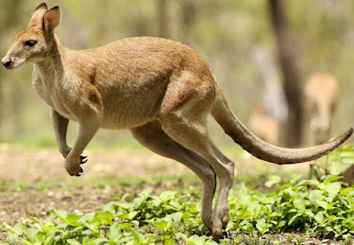 Kangaroo - Animals That Start With Letter K