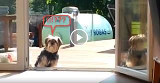 Σκύλος Νομίζει ότι η Γυάλινη Πόρτα Είναι Κλειστή, Ώσπου... - Video