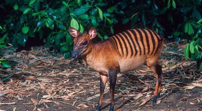 Animals You May Not Have Known Existed - Zebra Duiker