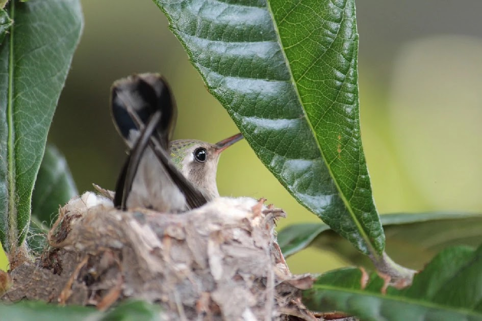 The Ingenious Nest Of A Humming Bird