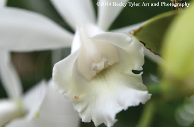 Cattleya Orchid, Macro Photography