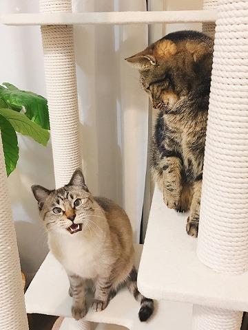 鳴きながら割り込んでくるシャムトラ猫