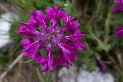 Pedicularis verticillate – Whorled Lousewort (Pedicolare a foglie verticillate)