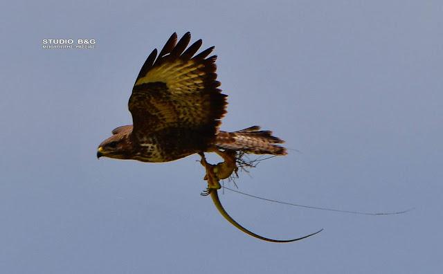 Εικόνες άγριας ζωής από το Ναύπλιο